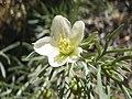 Peganum-harmala-flower.jpg