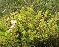 Pelargonium fruticosum KirstenboschBotGard09292010B.jpg
