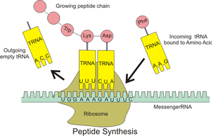 Transfer RNA - The interaction of tRNA and mRNA in protein synthesis.
