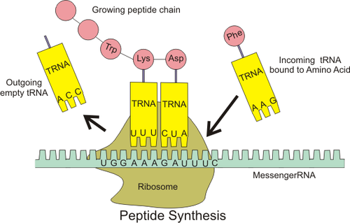 Peptide syn.png