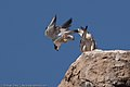 Peregrine Falcons (Falco peregrinus) post-mating on Morro Rock.jpg