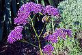 Perennial statice (Limonium perezii), Parliament gardens, Melbourne Australia (4618509506).jpg