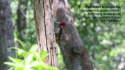 File:Periodic-and-transient-motions-of-large-woodpeckers-41598 2017 13035 MOESM2 ESM.ogv