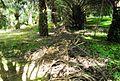 Perkebunan kelapa sawit milik rakyat (33).JPG