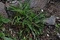 Persicaria bistorta in Jardin Botanique de l'Aubrac 05.jpg