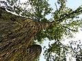 Perspektiva, Drveće, Niš (2).jpg