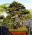 Pescia, museo del bonsai, picea abies, stile sokan (doppio tronco), da italia, circa 80 anni.jpg