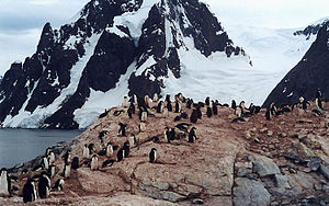 Petermann Island - Adélie penguin rookery on Petermann Island; their droppings make the grey rock pinkish
