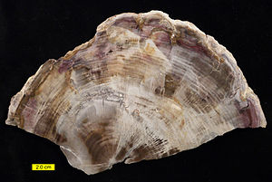 Petrified wood - Polished petrified wood