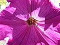 Petunia (2195598784).jpg