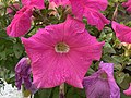 Petunia 12.jpg
