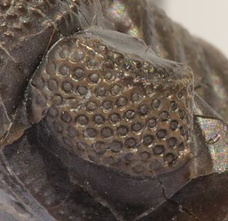 Phacopina - A schizochroal eye of Phacops rana, showing the large (0.5mm) individually set calcite lenses, that are unique in the animal kingdom