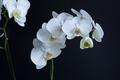 Phalaenopsis amabilis alternative candidate.png