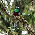 Pharomachrus mocinno Monteverde 15.jpg