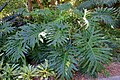 Philodendron bipinnatifidum - Marie Selby Botanical Gardens - Sarasota, Florida - DSC01772.jpg