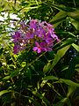 Phlox paniculata - Fall Phlox.jpg