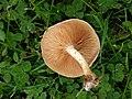 Pholiota gummosa 97794114.jpg