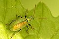 Phyllobius.argentatus.-.lindsey.jpg