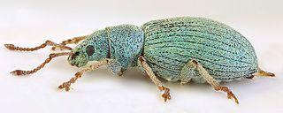 <i>Phyllobius virideaeris</i> species of insect