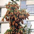 Picea pungens cones Sofia.jpg