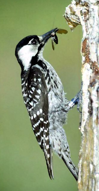 Red-cockaded woodpecker - Female