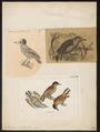 Picumnus cirratus - 1700-1880 - Print - Iconographia Zoologica - Special Collections University of Amsterdam - UBA01 IZ18700003.tif