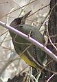 Picus viridis sharpei 046.jpg