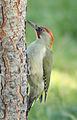 Picus viridis sharpei 063.jpg