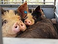 Pigs in a trailer before their slaughter 2.jpg