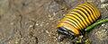 Pill millipede in Kutai National Park.jpg