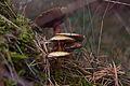 Pilze im Forst Rundshorn IMG 1340.jpg