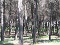 Pinar del Cerro de los Ángeles.jpg