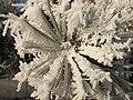 Pine frost.JPG