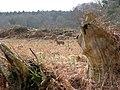 Pine trees and roe deer (Capreolus capreolus) - geograph.org.uk - 1203496.jpg