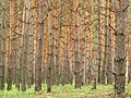 Pines in Luhansk Oblast.jpg