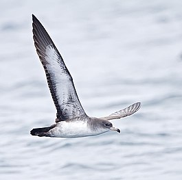 Pink-footed Shearwater (8004546479).jpg