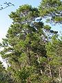 Pinus clausa 001 by Scott Zona.jpg