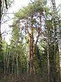 Pinus sylvestris 5756.jpg