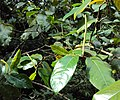 Piper colubrinum 03.JPG