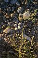 Piping Plover Nest (12820286535).jpg