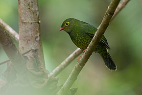 Description de l'image Pipreola intermedia, Band-tailed Fruiteater.jpg.