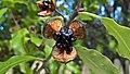 Pittosporum tenuifolium (Kohuhu) capsule.jpg