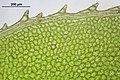 Plagiomnium affine (f, 144553-474756) 8092.JPG