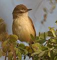 Plain Prinia (Prinia inornata) near Hyderabad W IMG 4876.jpg