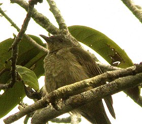 Plain honeyeater.jpg