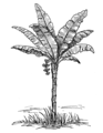 Plantain Plant (PSF).png