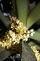 Plants Pomatocalpa spicata IMG 8294 01.jpg