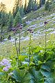 Plants from Sassolongo 16.jpg