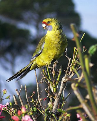 Green rosella - Juvenile in Tasmania. It is greener than an adult.
