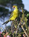 Platycercus caledonicus -Tamar Island, Tasmania -juvenile-8.jpg